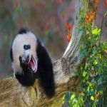 PandaWithLaughing